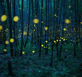 The season of a firefly comes around in Japan at the beginning of a rainy season. This firefly is a species called Luciola parvula, and repeats blink. [Hime-HOTARU] Call a firefly in Japan. This species flies in the beautiful forest. In particular, the firefly in bamboo forest is valuable. The population of these firefly decreases every year in Japan. These may be influence by environmental destruction. This picture was taken under a little moonlight.