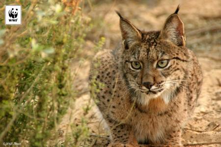 Iberijski ris je najugroženija vrsta divlje mačke na svetu © WWF Spain